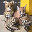 Savannah, Caracal y Serval gatitos.