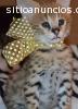 Caracal,Ocelot,Serval,Cheetah,Savannah
