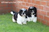 Dos cachorros de pura raza shih tzu