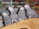 Especie: grises africanos, guacamayos es