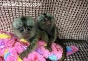 Mono Tití inteligente para Adopción