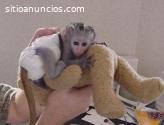 Monos ardilla, monos capuchinos, monos a
