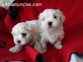 Cachorros malteses impresionantes
