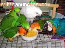 Huevos fértiles de loros y papagayos par