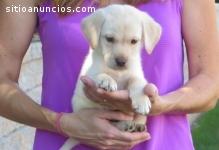adopción de cachorros labrador retriever