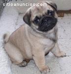 Adopción inteligente de pupies pug
