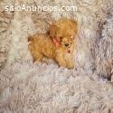 adorable cachorro de caniche
