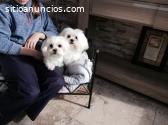 adorables cachorros bichones malteses