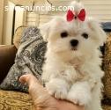 Adorables cachorros malteses excepcional