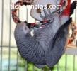 África pájaro loro gris. Oferta de Navid