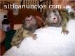Bebé monos tití pigmeo Disposible