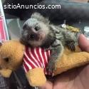 Bebé monos tití y los chimpancés para su