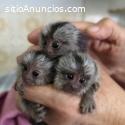 Bebé Titi, capuchino y monos ardilla par