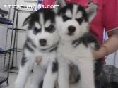 Blue eyes siberian husky