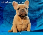 Bulldogs franceses