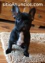 cachorro de bulldog francés macho