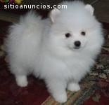 Cachorro de Pomerania para la adopción