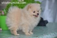 Cachorro de Pomerania Spitz