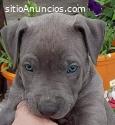 Cachorros American Pit Bull Terrier