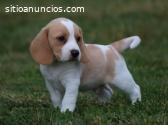 Cachorros Beagle Disponible