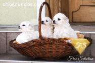 Cachorros Bichon Frise