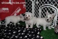 Cachorros blancos de pedigree West Highl