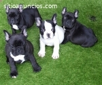Cachorros bulldog frances disponables re