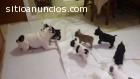 Cachorros bulldog frances varios colores