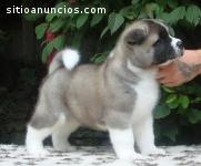 cachorros de Akita para la adopción