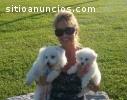 Cachorros de Bichón Maltés