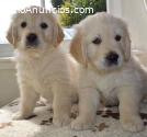 Cachorros de golden retriever disponible