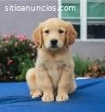 Cachorros de golden retriever registrado