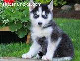 Cachorros De Husky Siberiano Para Adopci