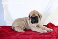 Cachorros de mastín inglés disponibles a
