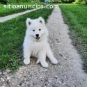 Cachorros de Samoyed