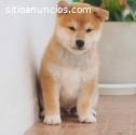 Cachorros de Shiba Inu