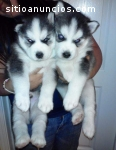 cachorros husky para Adopción