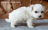 cachorros maltés blanco puro a la venta