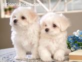 Cachorros maltés machos y hembras sanos