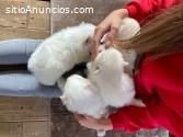 Cachorros Pomerania Hermosa Taza Té