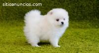 Cachorros Pomerania Mini Toy Para Adopci