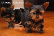 Cachorros Tacup Yorkie a la venta