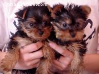 Cachorros Yorkie Registrados para Adopci