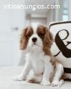 Cavalier King Charles cachorros