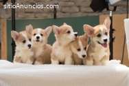 Corgi Pembroke cachorros