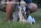 encantadores raza pura cachorros bulldog