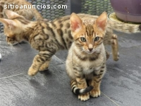 gatitos de sabana para adopción