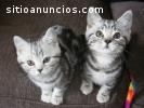 Gatos britanicos lindos de shorthair