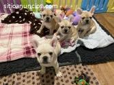 Geniales cachorros de Bulldog Francés di