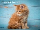 gentiles gatitos maine coon para la vent
